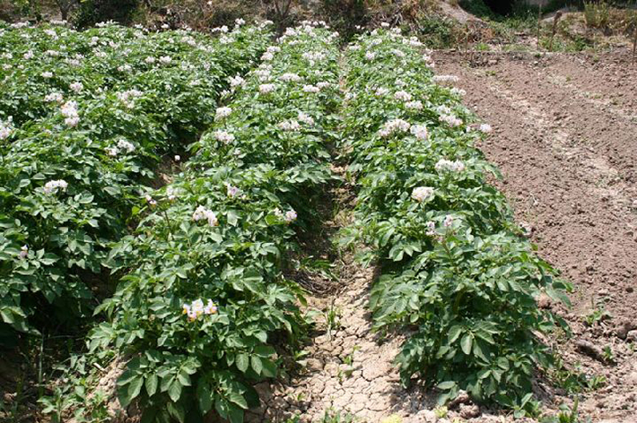 Plata de la patata en floración via regmurcia.com