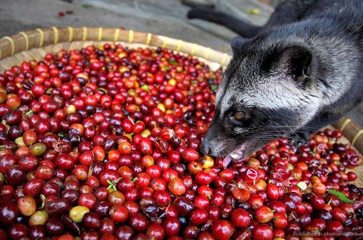los productos mas caros del mundo cafe civeta