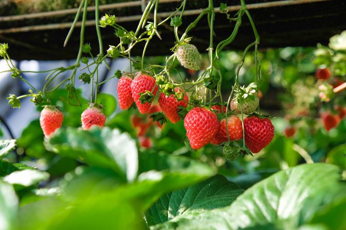 Agenda gastronomica de Madrid Rural it recogida fresas